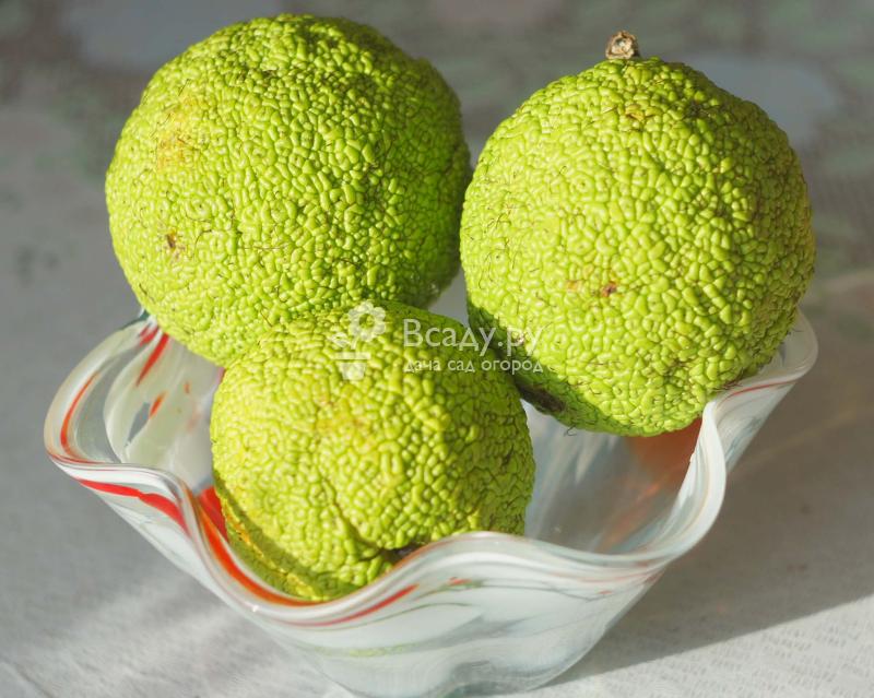 Адамово яблоко: рецепт, способ настойки, лечение заболеваний