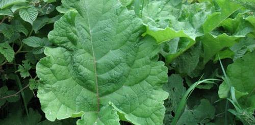 Целебные и полезные сорняки на даче