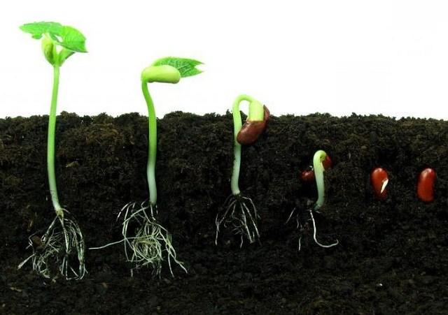 Как долго прорастают семена и почему они порой не всходят