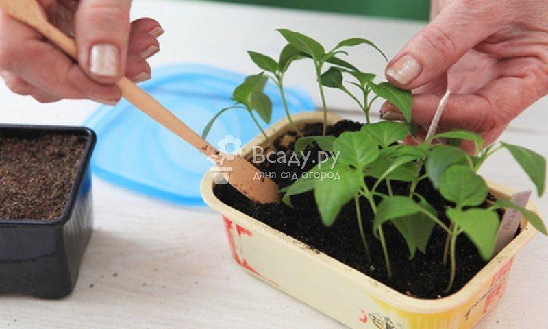 Особенности выращивания острого перца из семян
