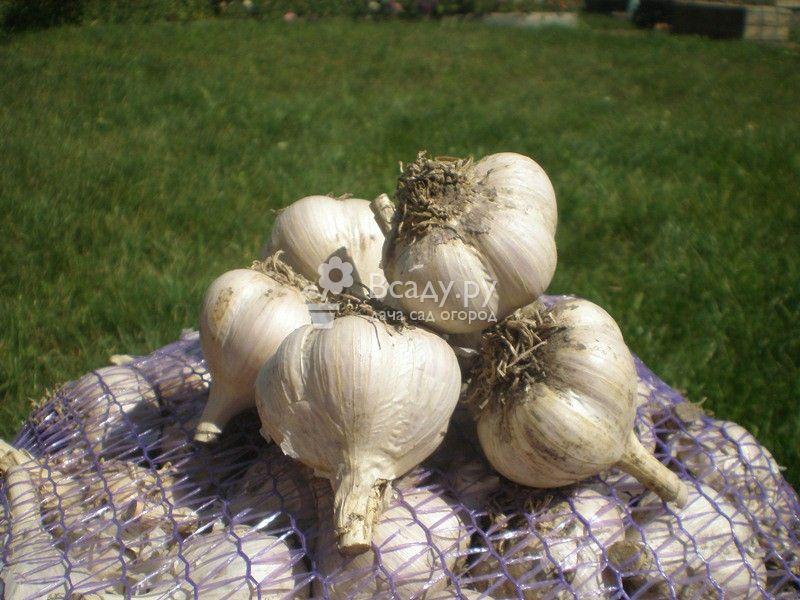 Размножаем чеснок бульбочками и выращиваем без грядки