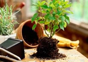 Советы по успешной пересадке комнатных растений