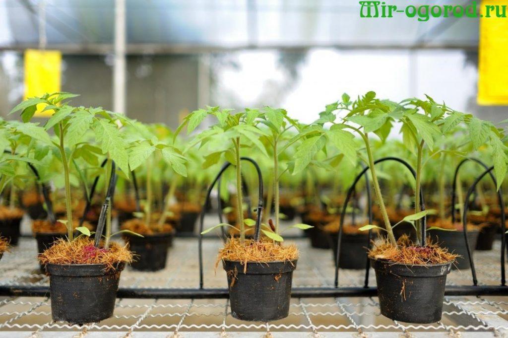 Закаливание рассады помидор в домашних условиях