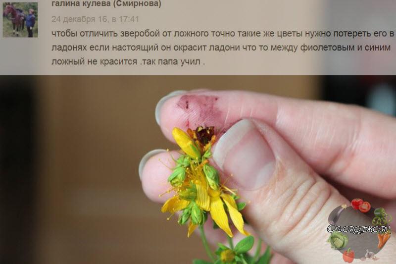 Зверобой – как заваривать и принимать целебное растение, показания к применению
